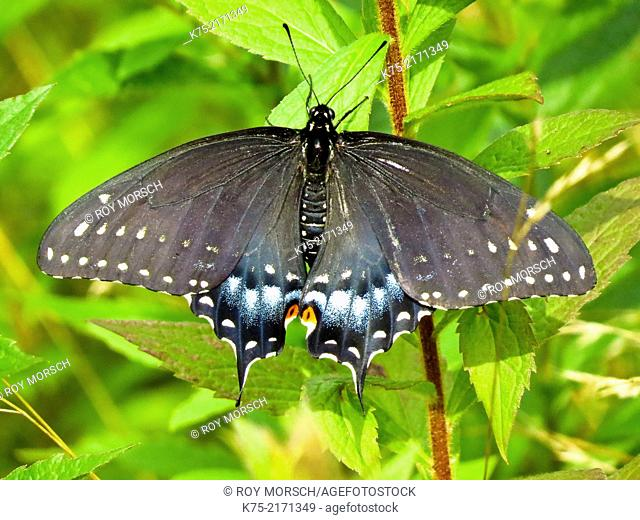 Eastern Black Swallowtail butterfly, papilio polyxenes