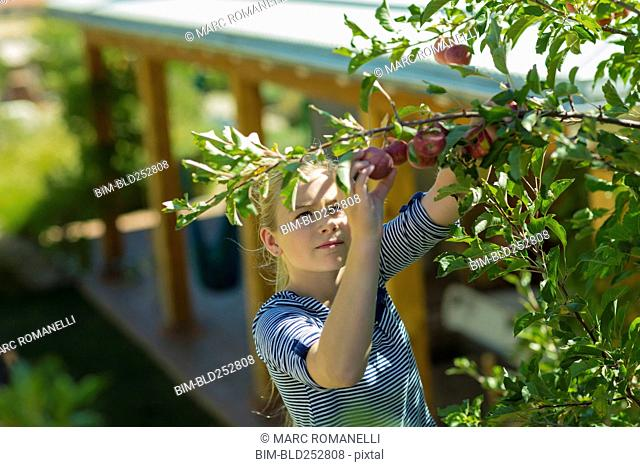 Caucasian girl picking apples from tree branch