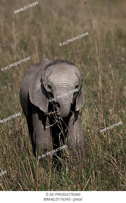 Elephant calf grazing in savanna field