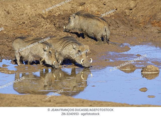 Common warthogs (Phacochoerus africanus), three adults in muddy water at a waterhole, two drinking, Addo Elephant National Park, Eastern Cape, South Africa