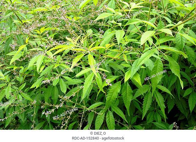 Mediterranean Chaste Tree Vitex agnus-castus