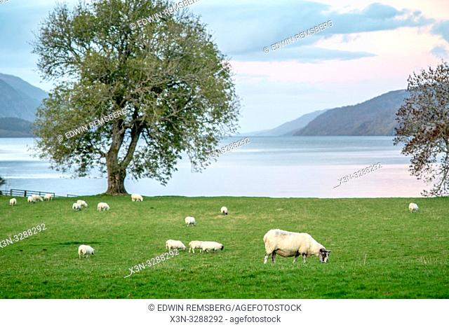 Sheep graze on the grass near Loch Ness in Scotland, United Kingdom