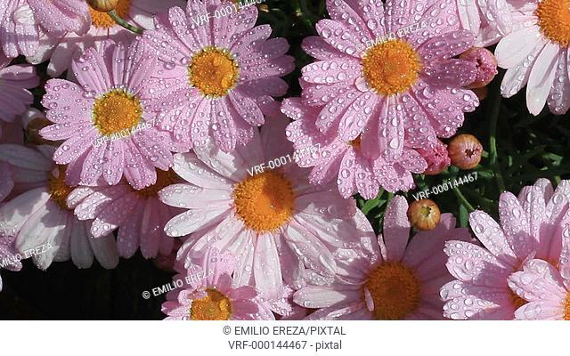 Pink daisies Chrysanthemum