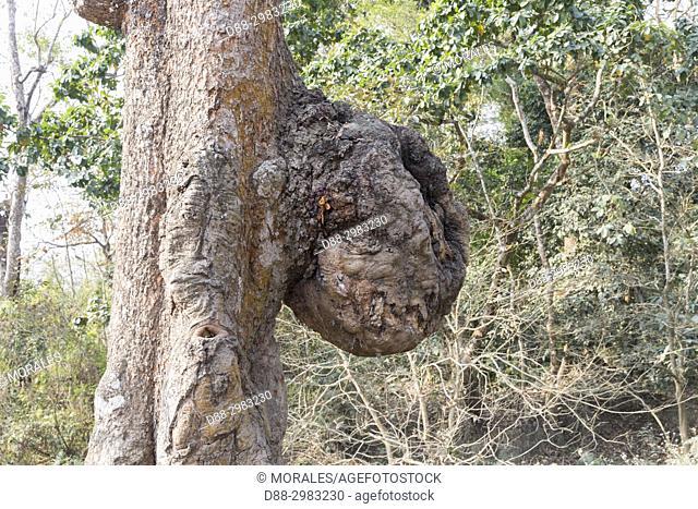 India, State of Assam, Kaziranga National Park, lBurf (American english), or bur or burr on a bark of a tree