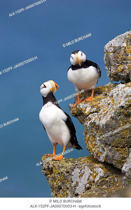 Horned Puffin pair perched on rock ledge with the blue Bering Sea in background, Saint Paul Island, Pribilof Islands, Bering Sea, Southwest Alaska