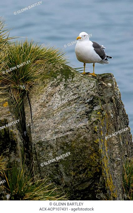 Kelp Gull (Larus dominicanus) perched on a rock on South Georgia Island