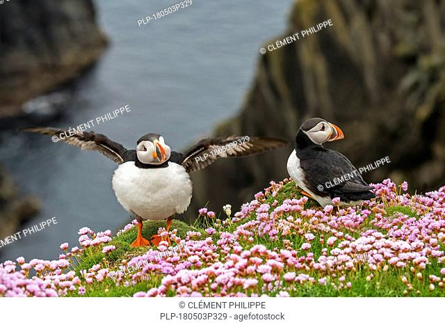 Two Atlantic puffins / Common puffins (Fratercula arctica) on cliff top in seabird colony at Sumburgh Head, Shetland Islands, Scotland, UK