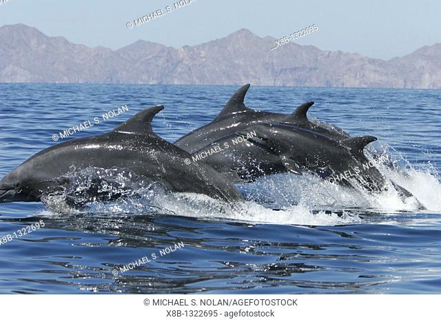 Off shore Bottlenose Dolphin Tursiops truncatus in deep offshore waters of the northern Gulf of California Sea of Cortez, Mexico