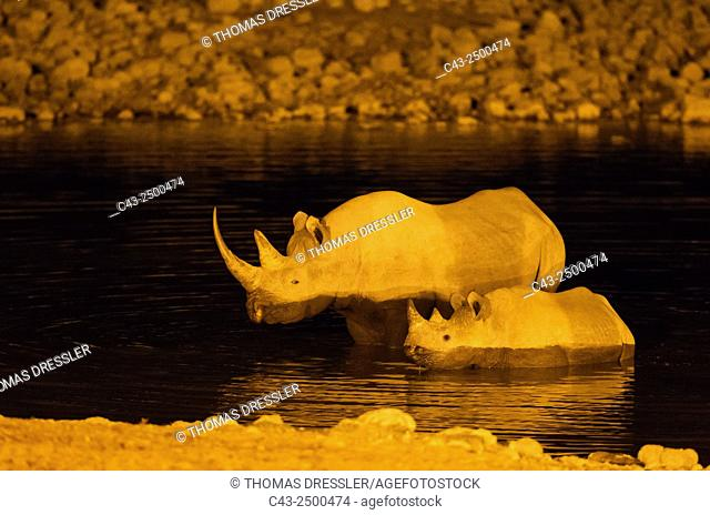 Black Rhinoceros (Diceros bicornis) - Also called Hook-lipped Rhinoceros. Cow with calf at night in the floodlit waterhole of the Okaukuejo Camp