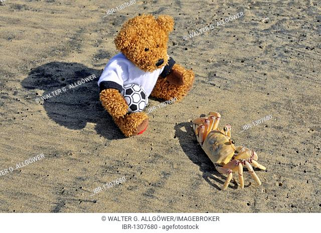 Teddy bear observing a Ghost Crab or Sand Crab (Ocypode sp.), Jabula Beach near Santa Lucia, KwaZulu-Natal province, South Africa, Africa