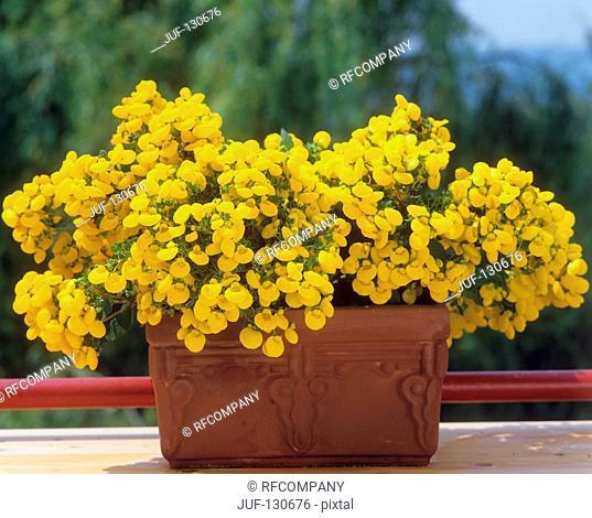 Ladys slipper / Calceolaria integrifolia