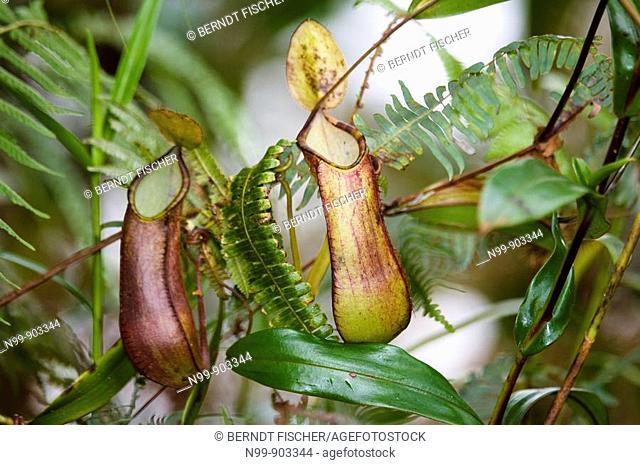 Pitcher plant Nepenthes tentaculata cloud forest Mount Kinabalu Kinabalu National Park Sabah Borneo Malaysia