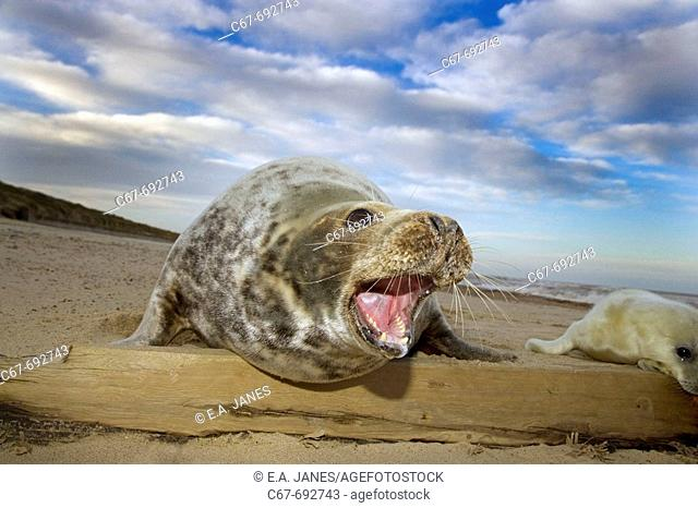Grey Seal, Halichoerus grypus, Pup & Female