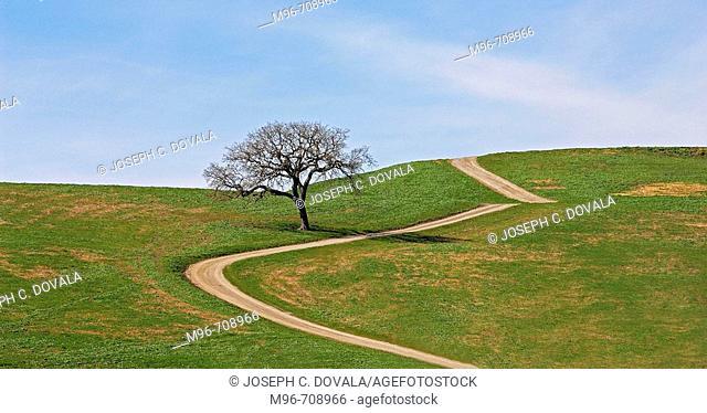 Lone oak tree Los Olivos. California, Usa