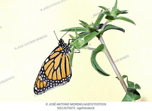 Monarch butterfly (Danaus plexippus), Benalmadena, Malaga province, Andalusia, Spain