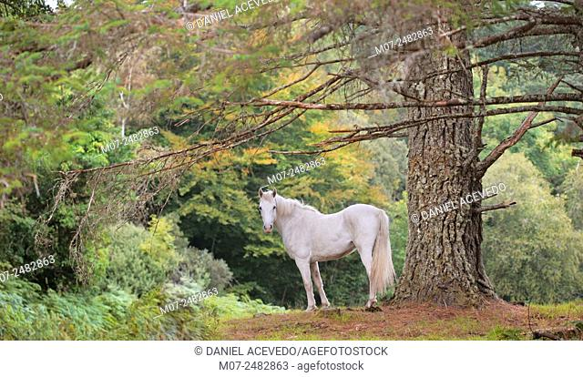 Connemara white Horse, Galway county Ireland Galway