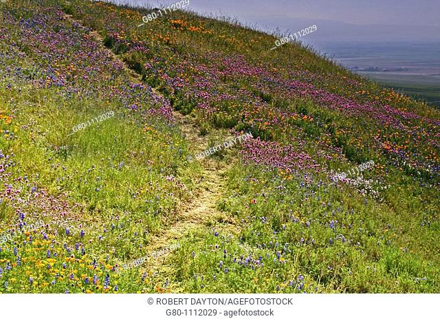 A trail on a hillside of wildflowers, Southern California