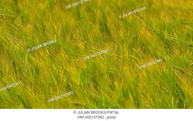 The wind that shakes the Barley - seamless loop - close up