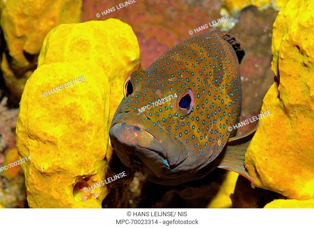Coney Fish (Cephalopholis fulva) tropical reef fish, Saba, Caribbean