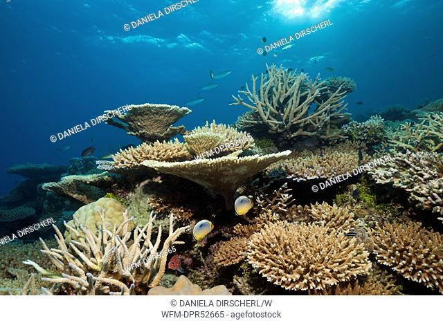 Table Corals and Branching Corals on Reef Top, Acropora sp., Thaa Atoll, Maldives