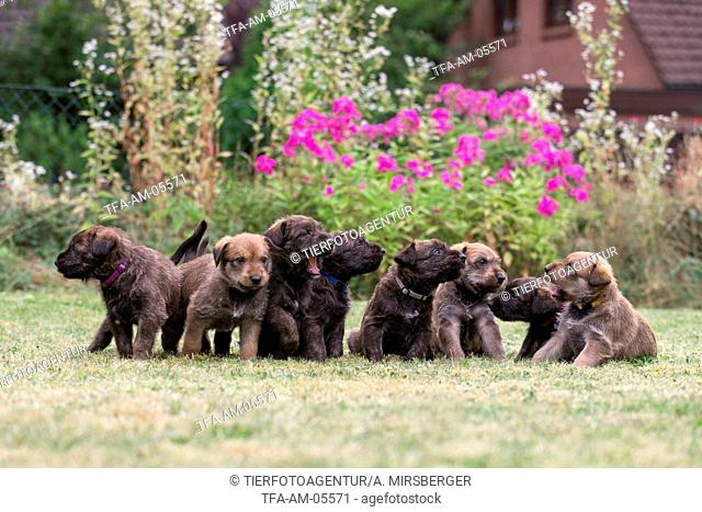 Berger Picard Dog Puppies