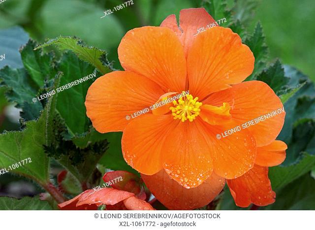 Begonia flower close up