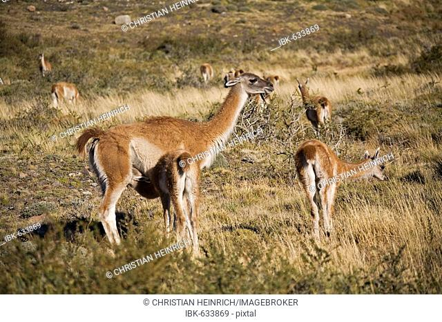 Guanacos (Lama guanicoe), National Park Torres del Paine, Patagonia, Chile, South America