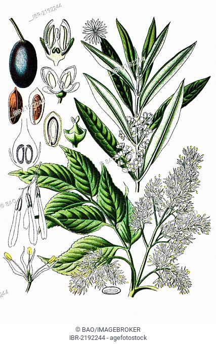 Olive tree (Olea europaea), left and Manna Ash or South European Flowering Ash (Fraxinus ornus), right, medicinal plants, historical chromolithography