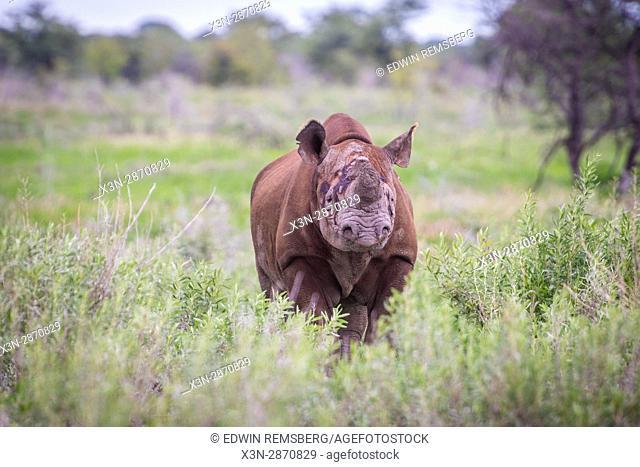 Southwestern black rhinoceros walking through the grasslands at Etosha National Park in Namibia, Africa