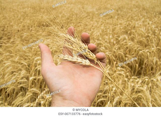 ears of wheat in a hand above the field