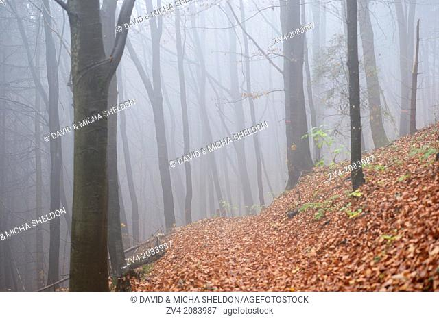 Landscape of European beeches (Fagus sylvatica) tree trunks in fog in autumn