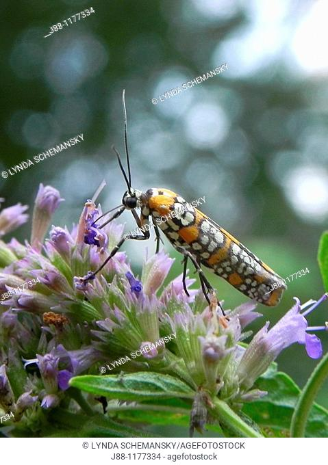 Ailanthus Webworm Moth, ermine moth, Atteva punctella, Atteva aurea, on Agastache flowers, Anise Hyssop, Licorice Mint, Agastache foeniculum, Agastache anisata