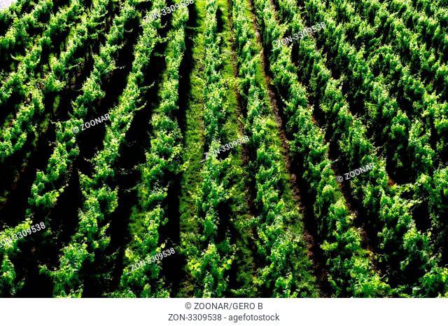 Weinberg Textur grün, Vineyard green texture