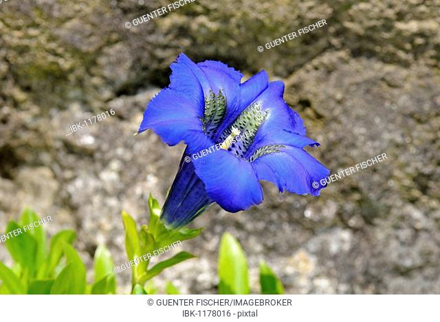 Blue stemless Gentian (Gentiana acaulis, Alpes, Europe