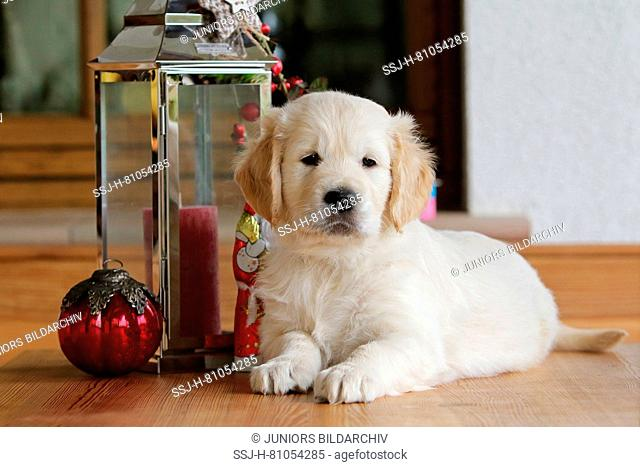 Golden Retriever. Puppy (7 weeks old) lying next to a lantern with Christmas decoration. Germany