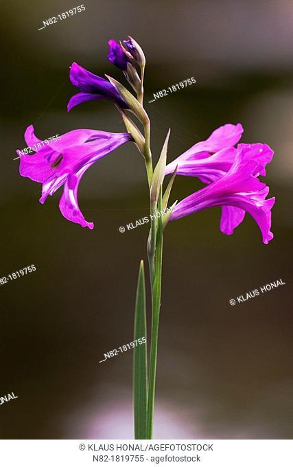 Marsh Gladiolus Gladiolus palustris flowering - Bavaria/Germany