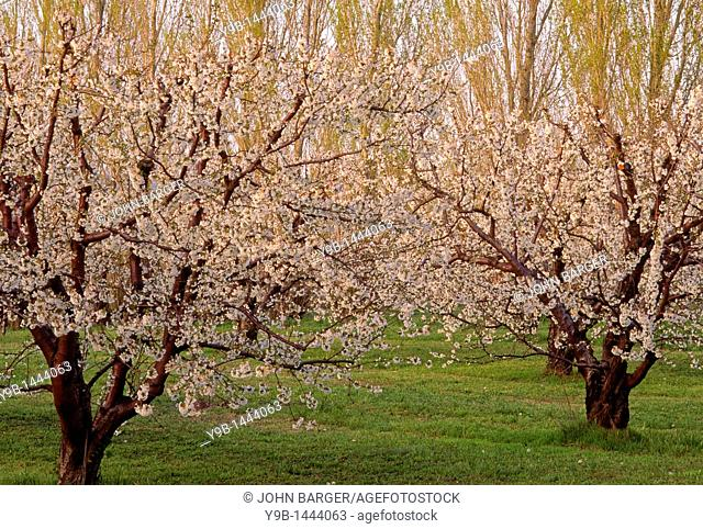 Fruit orchard in bloom, near Mosier, Columbia River National Scenic Area, northern Oregon, USA