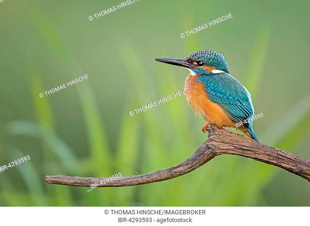 Eurasian kingfisher (Alcedo atthis) sitting on tree branch, male, Middle Elbe Biosphere Reserve, Saxony-Anhalt, Germany