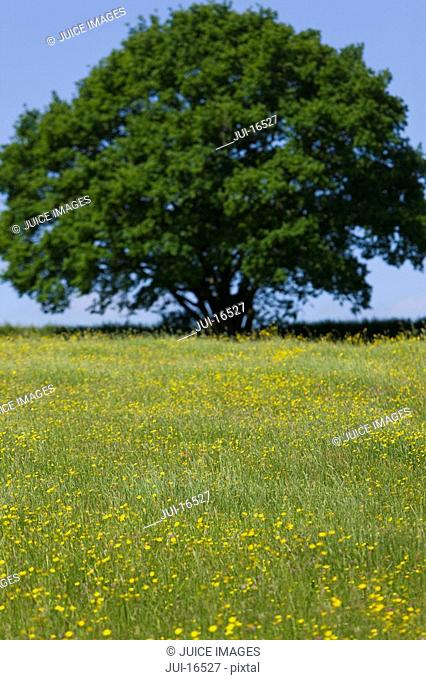 Tree and field of yellow buttercup flowers