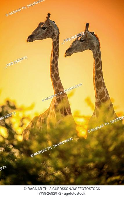 Portrait of Giraffes, Etosha National Park, Namibia, Africa