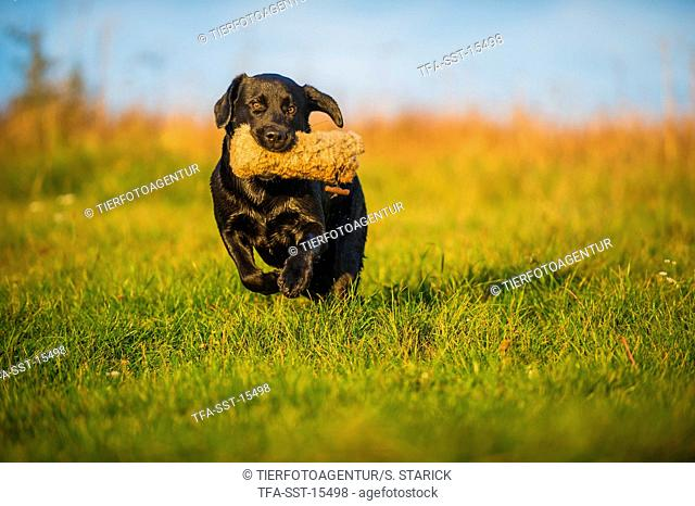 retrieving Labrador Retriever