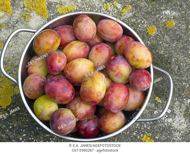 Victoria Plums ripe and ready to gather in garden setting