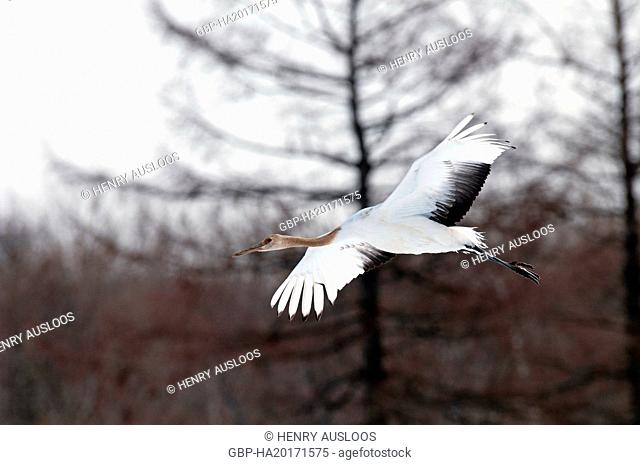 Japanese crane, Red-crowned crane (Grus japonensis) young flying, Japan