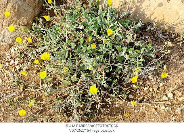 Calendula suffruticosa is a perennial plant endemic to the Mediterranean region. Angiosperms. Asteraceae. Huelva. Andalusia. Spain