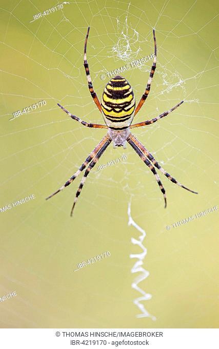 Wasp spider (Argiope bruennichi), in its web, Middle Elbe Biosphere Reserve, Saxony-Anhalt, Germany