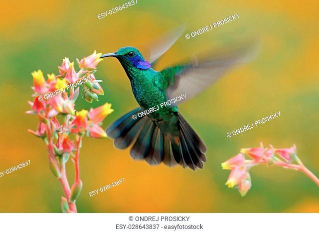 Hummingbird Green Violet-ear, Colibri thalassinus, bird fling
