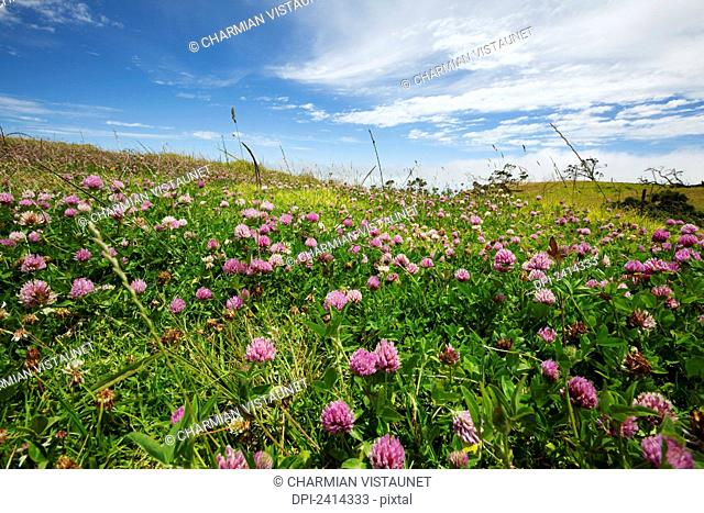 Pink clover growing in green pastureland; Waimea, Island of Hawaii, Hawaii, United States of America