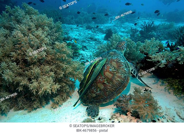Green turtle (Chelonia mydas) with Remoras (Echeneidae) in the coral reef, Moalboal, Cebu, Philippines