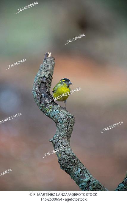 Lugano or male Siskin Goldfinch (Spinus spinus). Motilla del Palancar, Cuenca province, Castile-La Mancha, Spain