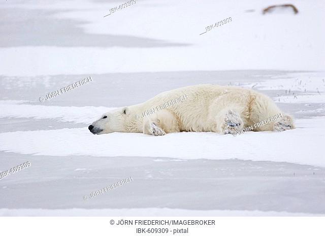 Polar bear (Ursus maritimus) proning, Churchill, Manitoba, Canada